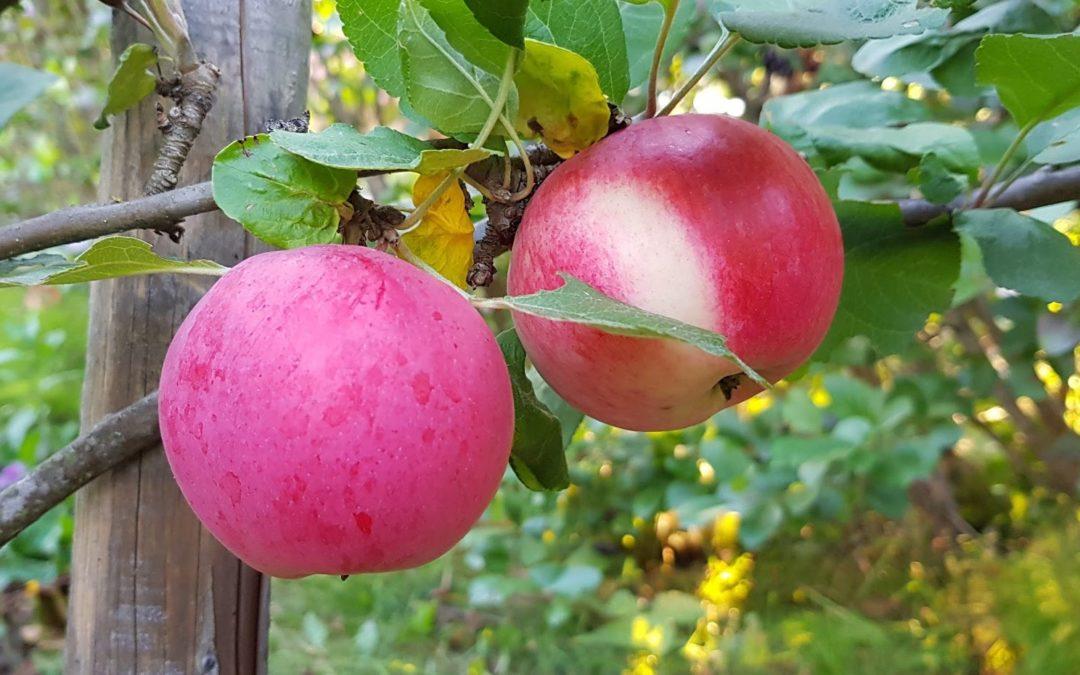 Miten pääset ylimääräisistä omenoista eroon?