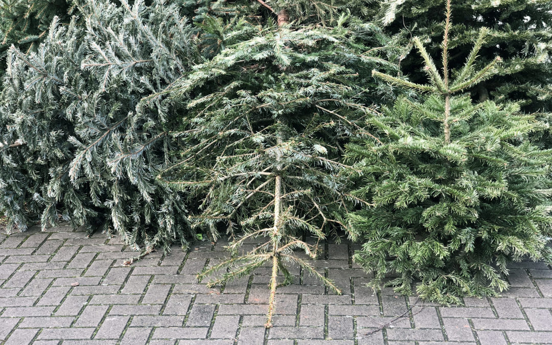 Joulukuusien hävittäminen – vielä helmikuussa kerätään astioiden viereltä